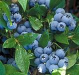 Голубика садовая Нортблю (Northblue)