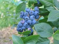 Голубика садовая Нортланд (Northland) саженцы