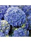Гортензия крупнолистная Blue Р9 (саженец)